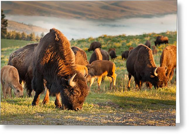 Bison Grazing Greeting Card by Shaun Schlager