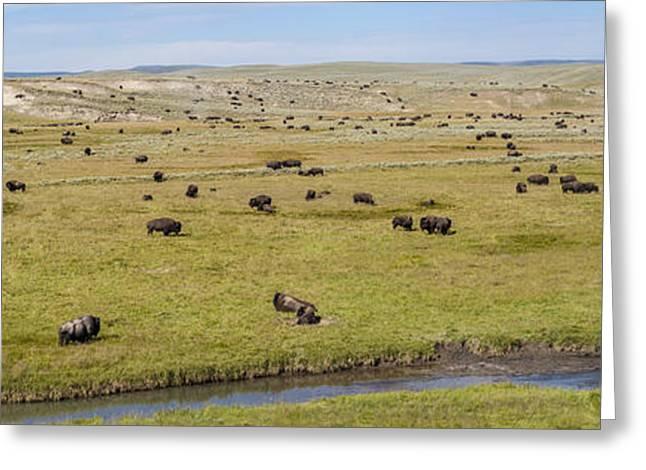 Bison Herd Greeting Card