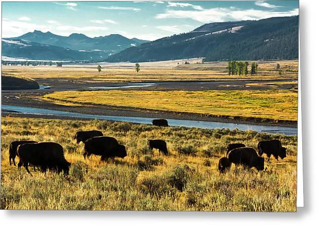 Bison Herd, Feeding, Lamar River, Lamar Greeting Card by Michel Hersen