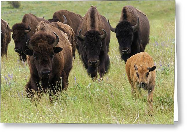 Bison Herd With Calf Greeting Card by Ken Archer