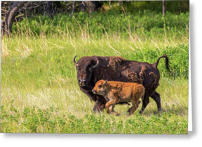 Bison Herd With Calves In Custer State Greeting Card