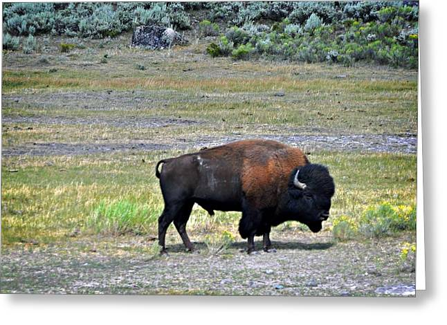 Bison In Lamar Valley Greeting Card by Marty Koch