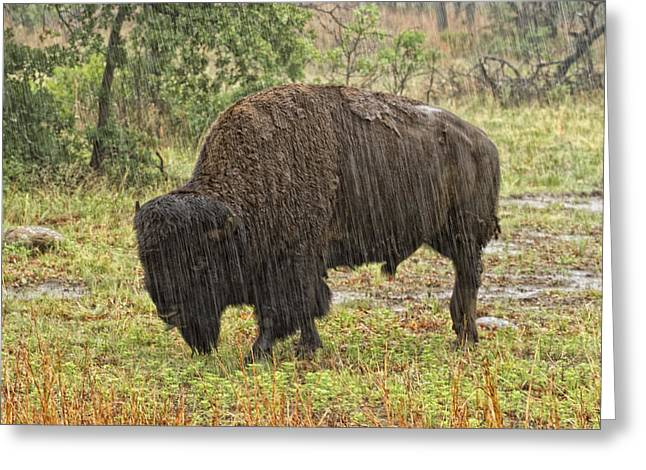 Bison In Rain Greeting Card