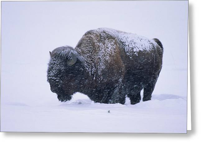 Bison In Snowstorm, Yellowstone Greeting Card by Richard and Susan Day