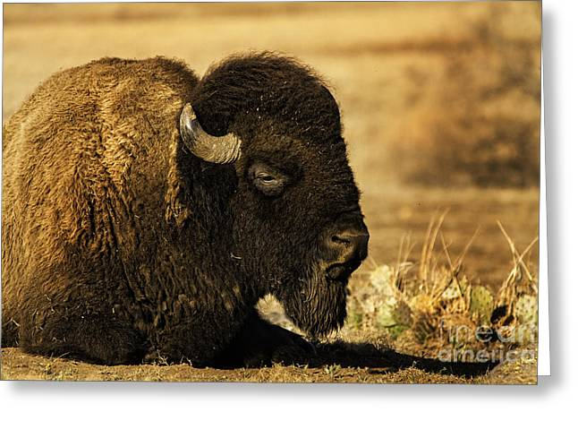 Bison In The Wichitas Greeting Card by Iris Greenwell