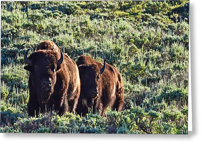 Bison Morning Greeting Card