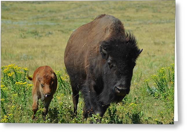 Bison Mother And Calf Greeting Card by Dakota Light Photography By Dakota