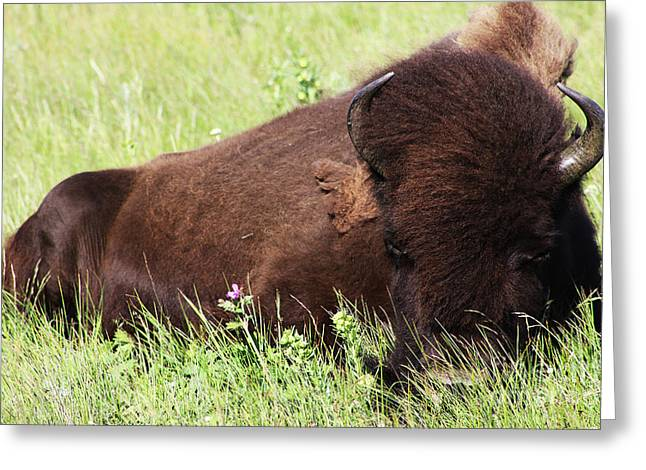 Greeting Card featuring the photograph Bison Nap by Alyce Taylor