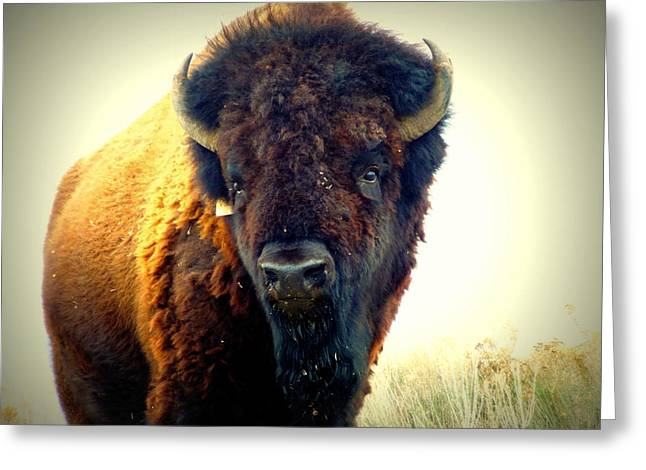 Bison On Antelope Island Greeting Card by Heidi Manly
