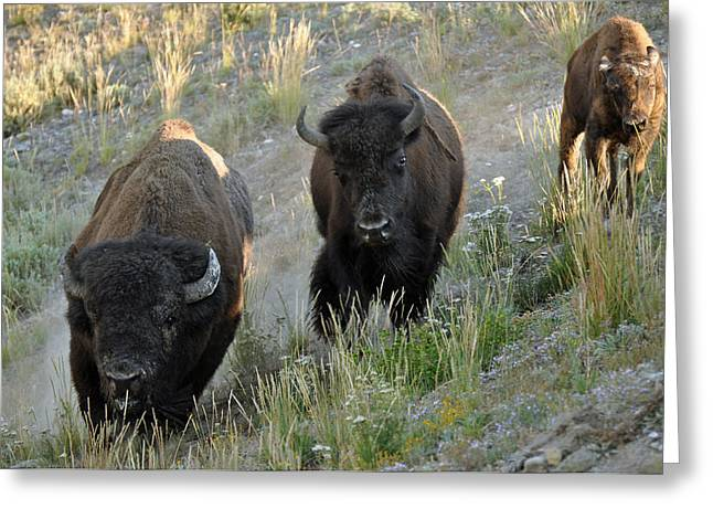Bison On The Run Greeting Card by Bruce Gourley
