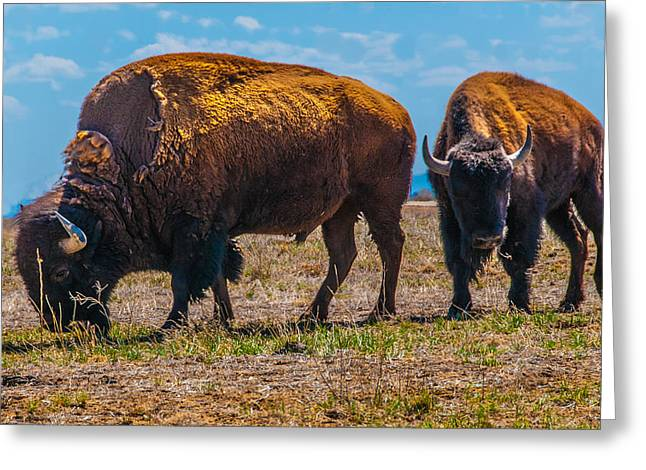 Greeting Card featuring the photograph Bison Pair_1 by Tom Potter