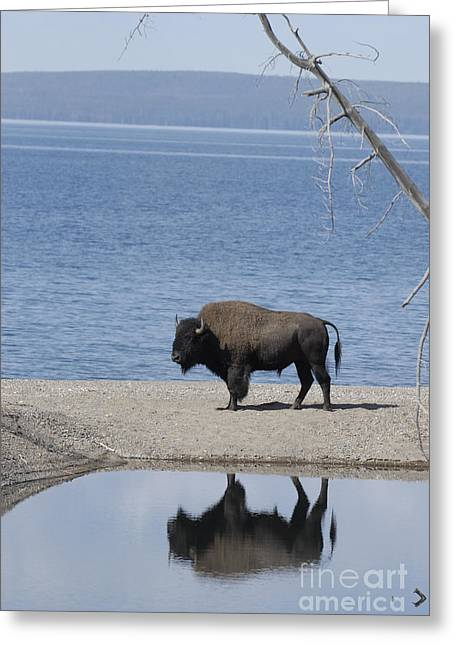 Bison Reflecting Greeting Card by Bob Dowling