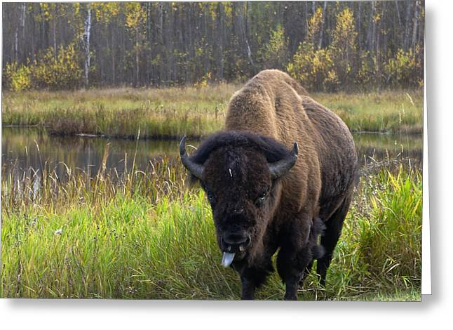 Greeting Card featuring the photograph Bison by Rhonda McDougall