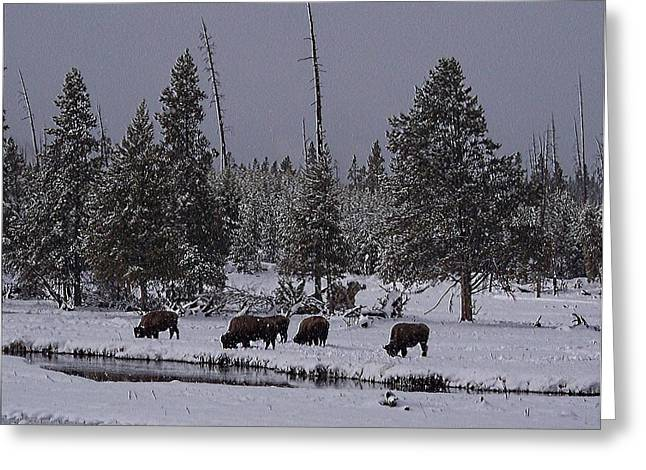 Yellowstone Bison Snow Grazing Greeting Card by Silver Wolf Trading Post