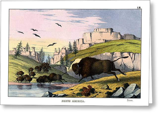 Bison Greeting Card by Splendid Art Prints