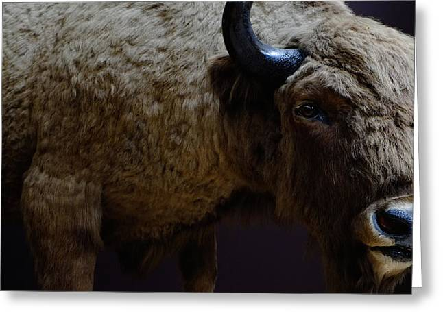 Bison Stuffed Greeting Card
