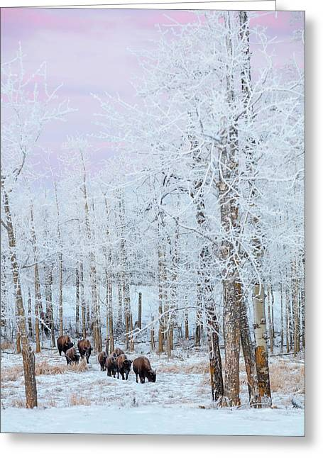 Bison Walking In The Early Morning Greeting Card