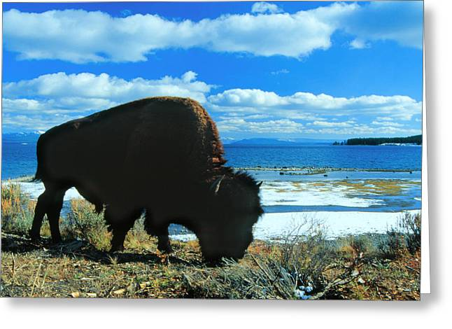 Bison Yellowstone Greeting Card