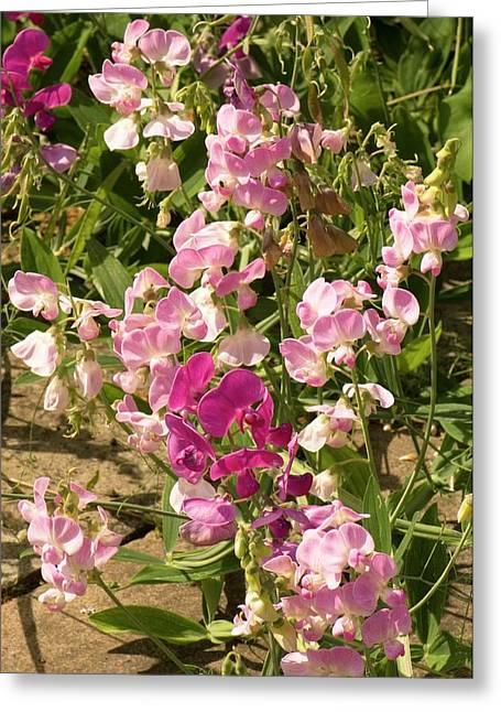 Bitter Vetch (lathyrus Vernus) Flowers Greeting Card by Adrian Thomas