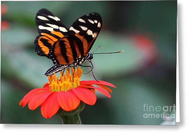 Greeting Card featuring the photograph Black And Brown Butterfly On A Red Flower by Jeremy Hayden