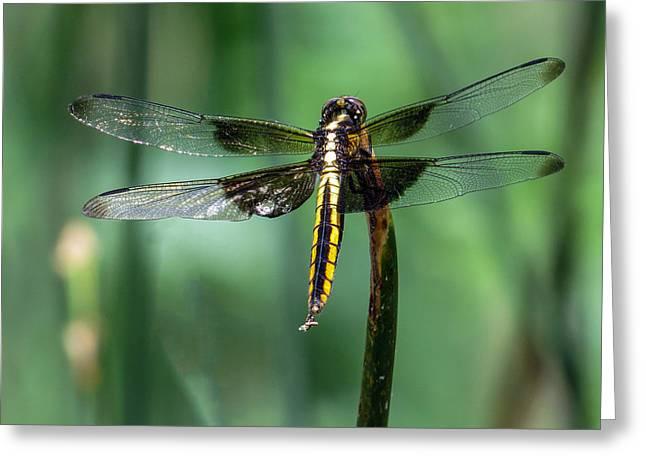 Black And Gold Female Widow Skimmer Dragonfly  Greeting Card by Dawn Key
