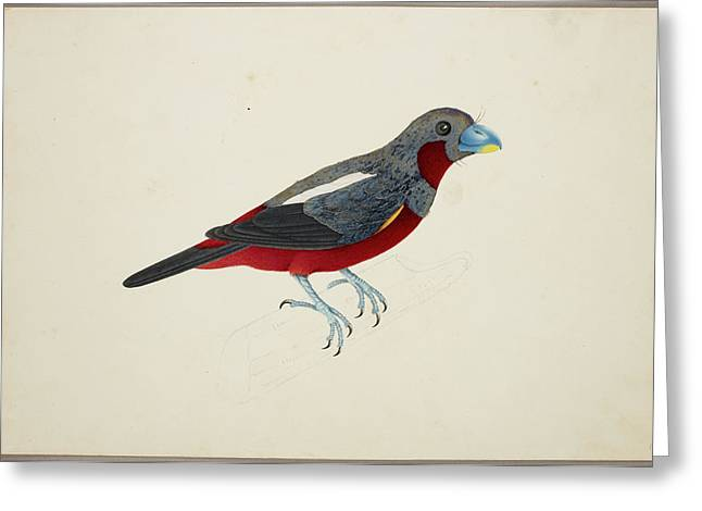 Black And Red Broadbill Greeting Card by British Library