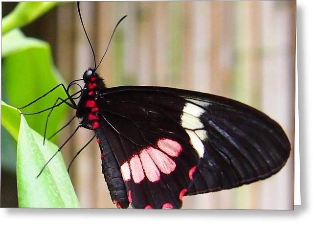 Greeting Card featuring the photograph Black And Red Cattleheart Butterfly by Amy McDaniel