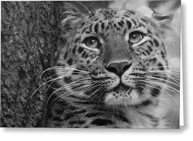 Black And White Amur Leopard Greeting Card by Chris Boulton