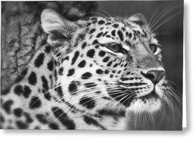 Black And White - Amur Leopard Portrait Greeting Card by Chris Boulton
