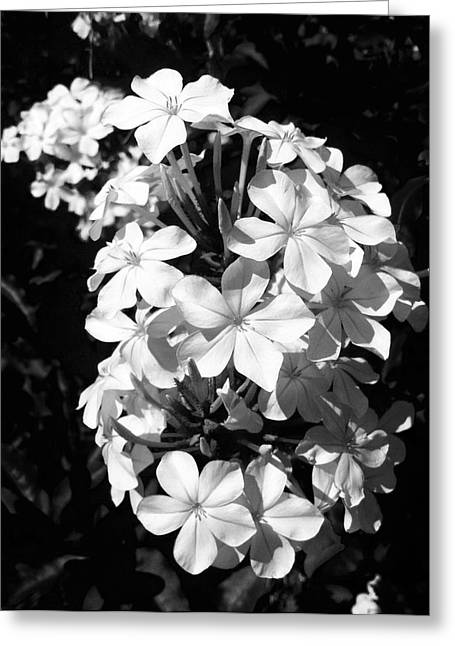 Greeting Card featuring the photograph Black And White Beauty by Alohi Fujimoto