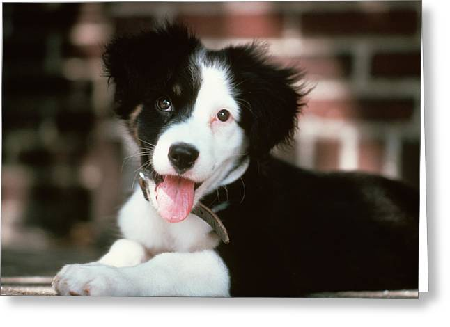 Black And White Border Collie Puppy Greeting Card