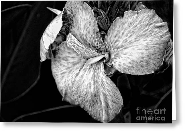 Black And White Canna Flower Greeting Card by Eva Thomas