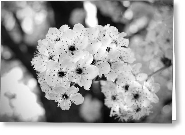 Black And White Cherry Blossoms Greeting Card By Nicole Berna
