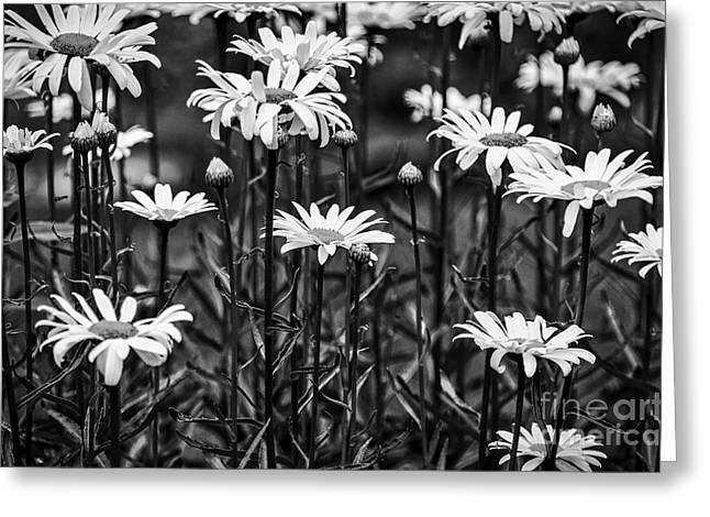 Black And White Daisies Greeting Card by Mary Carol Story
