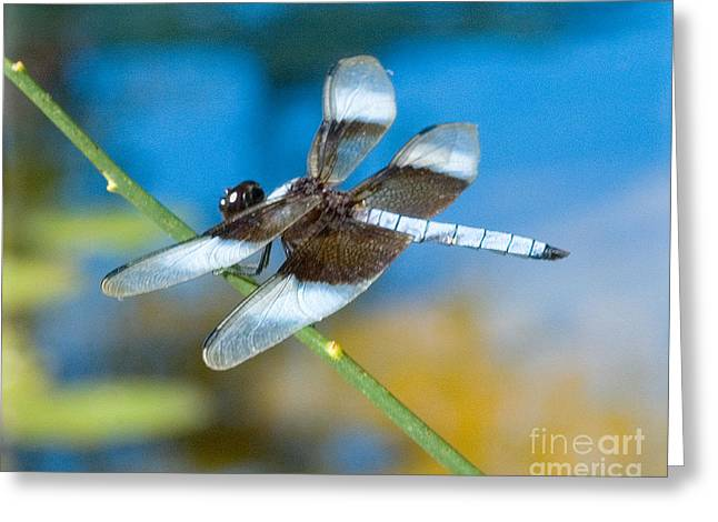 Greeting Card featuring the photograph Black And White Dragonfly by Mae Wertz