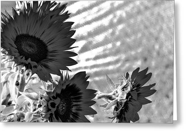 Black And White Flower Of The Sun Greeting Card
