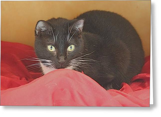 Black And White Kitty At Pet Helpers Greeting Card