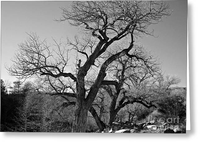 Greeting Card featuring the photograph Black And White Oak by Janice Westerberg