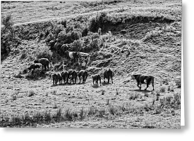 Black And White Photo Of Cows Grazing On Grass In Maine Greeting Card by Keith Webber Jr