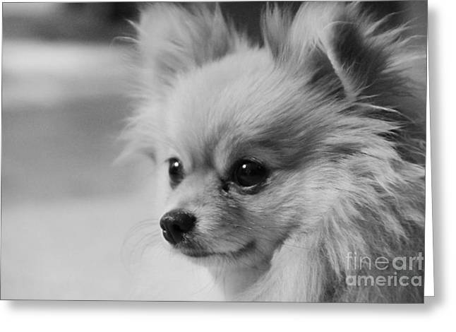 Black And White Portrait Of Pixie The Pomeranian Greeting Card