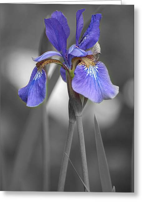 Greeting Card featuring the photograph Black And White Purple Iris by Brenda Jacobs