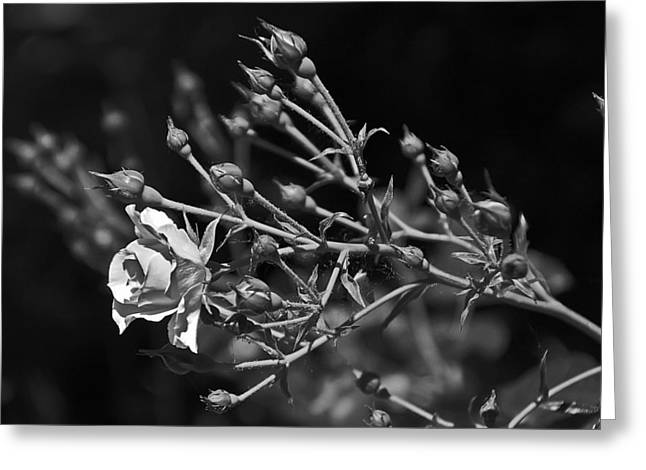 Black And White Rose Greeting Card by Aimee L Maher Photography and Art Visit ALMGallerydotcom