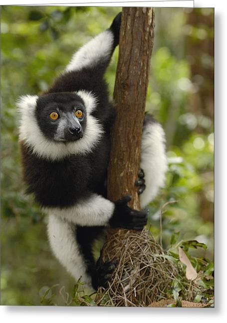 Black And White Ruffed Lemur Madagascar Greeting Card by Pete Oxford