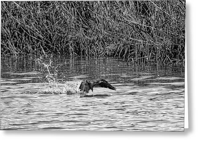 Black And White Splashing Start Cormorant Beginning To Fly From Water In Creek Of  Enkoepin Greeting Card