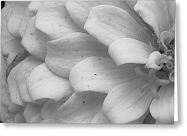 Black And White Zinnia Greeting Card by Bruce Bley
