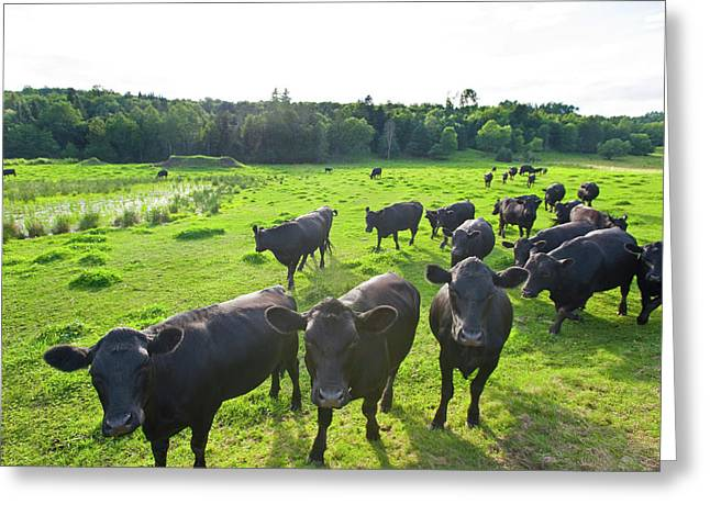 Black Angus Cattle On Grassy Field Greeting Card