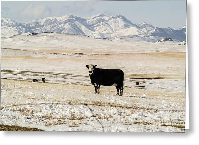Black Baldy Cows Greeting Card