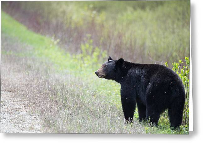 Black Bear 3 Greeting Card by Andy Fung