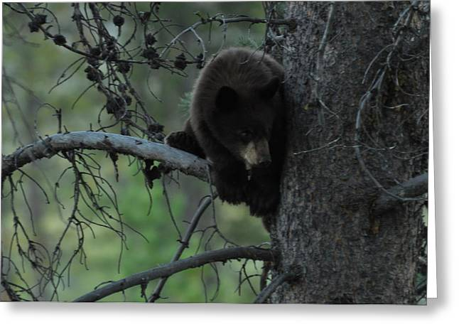 Black Bear Cub In Tree Greeting Card