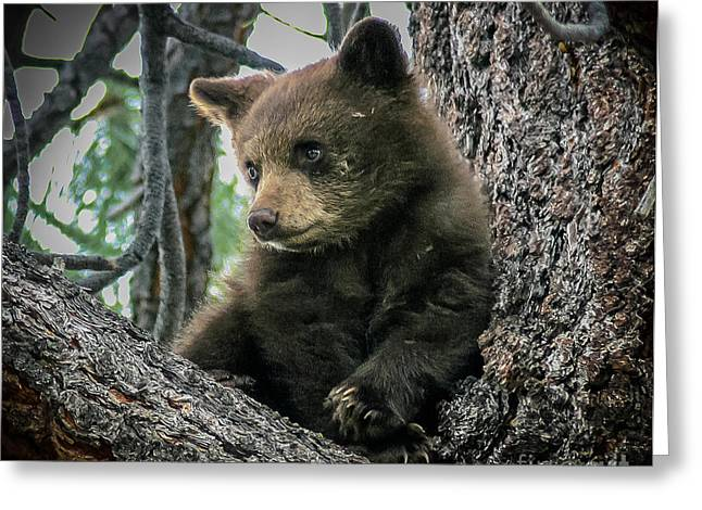 Black Bear Cub Greeting Card by Mitch Shindelbower